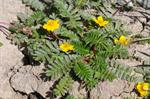 Silverweed (Potentilla anserina)